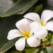 White frangipani flower on tree — Stock Photo