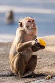 Monkey holding corn in hand — 图库照片