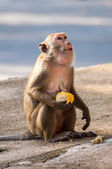 Monkey holding corn in hand — Foto Stock
