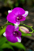 Two purple orchid flowers — Stock Photo