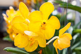 Group of yellow orchid flowers — Foto de Stock