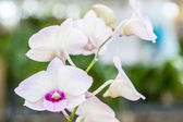 White purple orchid flowers — Stock Photo