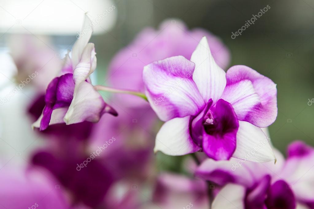Purple And White Orchid Flowers Purple White Orchid Flowers With Green Leaves in Background