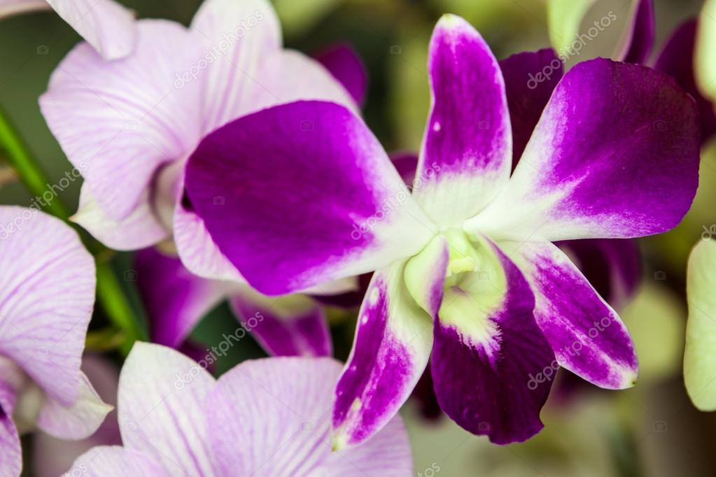 Purple And White Orchid Flowers Purple White Orchid Flowers With Green Leaves in Background Photo by