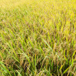 Rice paddy field — Stock Photo #28801865