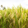 Rice paddy field close up — Stock Photo #28805241