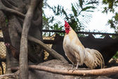 White rooster red head — Stock Photo