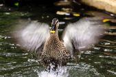 Brown teal duck black spot — Stock Photo