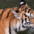 Bengal tiger head close up — Stock Photo