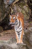 Tigre del bengala, camminando sulla roccia — Foto Stock
