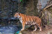 Bengal tiger walking on the rock — Stock Photo