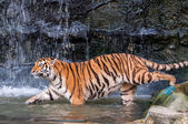 Bengal tiger trying to get into water — Stock Photo
