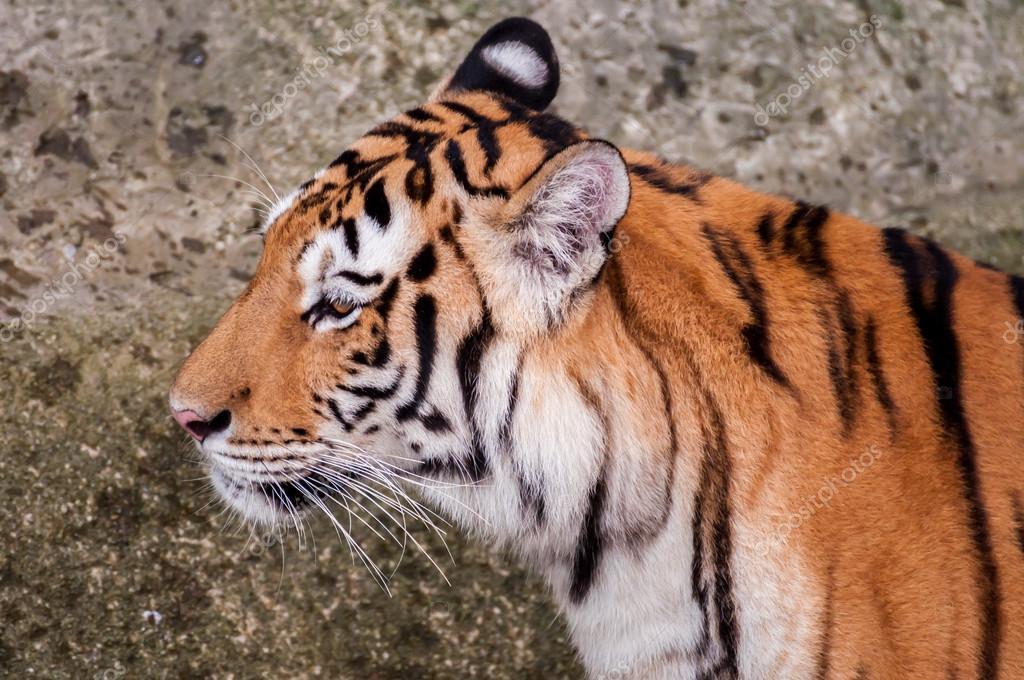 черный бенгальский тигр фото