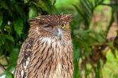 Brown owl perching — Stock Photo