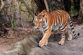 孟加拉虎在岩石上行走 — 图库照片