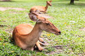 Weiblichen antilope auf boden im park — Stockfoto