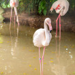 White flamingo pink beak in water — Stock Photo #29525391