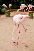 White flamingo pink beak — Stock Photo