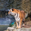 Bengal tiger standing on the rock near water — Stock Photo #29979015