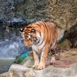 Bengal tiger standing on the rock near water — Stock Photo #29979063