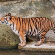 Bengal tiger standing on the rock near water — Stock Photo