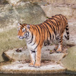 Bengal tiger standing on the rock near water — Stock Photo #29979189