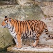 Bengal tiger standing on the rock near water — Stock Photo #29979201