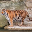 Bengal tiger standing on the rock near water — Stock Photo #29979231
