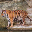 Bengal tiger standing on the rock near water — Stock Photo #29979237