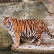 Bengal tiger standing on the rock near water — Stock Photo #29979255