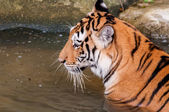 Tiger in the water close up — Foto de Stock