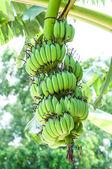 Bos van ruwe bananen — Stockfoto