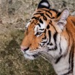 Stock Photo: Bengal tiger head close up