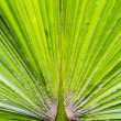 Green palm leaf texture — Stock Photo
