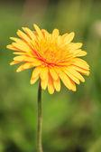 žlutá pampeliška květin — Stock fotografie