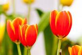 Oranžové a žluté tulipány — Stock fotografie