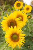 Yellow sunflowers in farm — Stock Photo