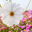 Stock Photo: White cosmos flower on field