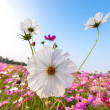 Stock Photo: White cosmos flower on field with sky
