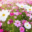 Stock Photo: White cosmos flowers on field