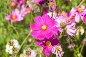 Pink cosmos flower close up — Stock Photo