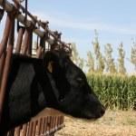 Cow Farm — Stock Photo #14912487