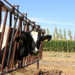 Cow Farm — Stock Photo #14912589