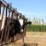 Cow Farm — Stock Photo #14912589