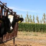 Cow Farm — Stock Photo #14912615