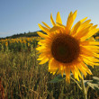Sunflower — Stock Photo #32931677