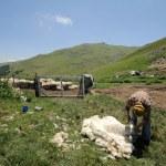 Shearing Sheep — Stock Photo #32933033