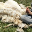 Shearing Sheep — Stock Photo