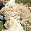Shearing Sheep — Stock Photo #32933165