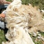 Shearing Sheep — Stock Photo #32933165